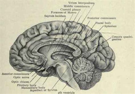 medial section of brain the circulation of the brain part 2