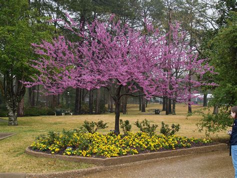japanese redbud tree photos forest pansey redbud tree photos forest pansy redbud tree in bloom garden