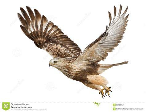 hawk flying draw and paint color vector stock vector image 89108252