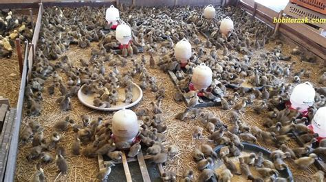 Pakan Untuk Dod Bebek Peking beternak bebek peking dengan mudah hobiternak