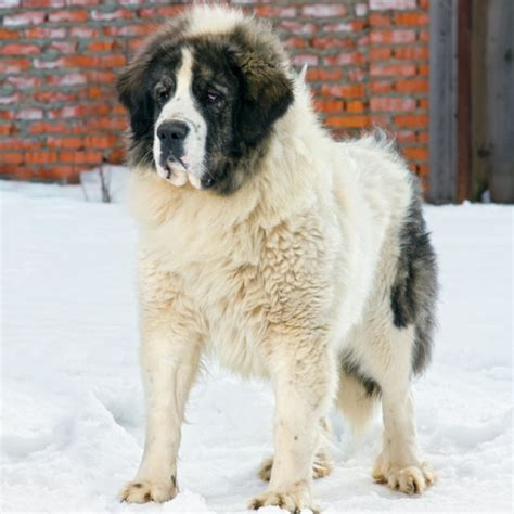 pyrenean mastiff puppies pyrenean mastiff breed information and facts