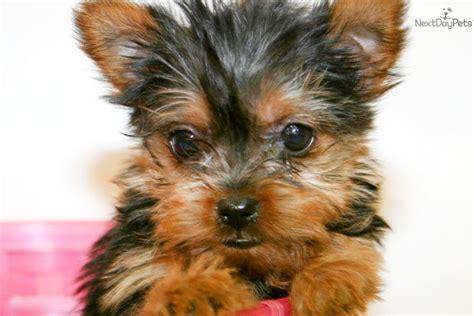 yorkie grown age terrier yorkie puppy for sale near columbus ohio fce2dadf fd11