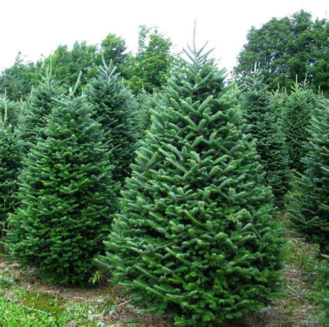 fraser fir christmas tree 7 8 75 00 jarrell