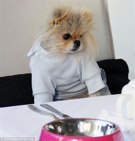giggy the pomeranian vanderpump s pet giggy enjoys a s dinner with his beverly chihuahua