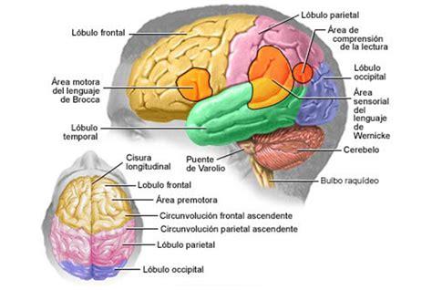 imagenes visuales para el cerebro el cerebro humano
