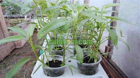 7 langkah mudah cara menanam kangkung hidroponik tanpa ab mix