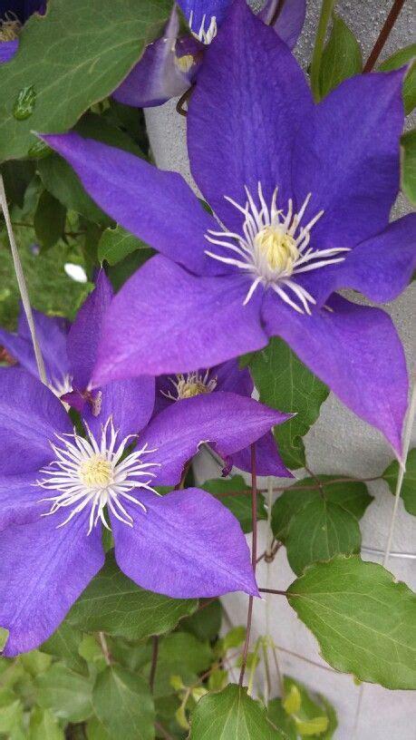 purple vining flower heavenly garden pinterest