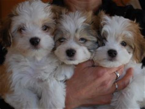 havanese puppies in ma havanese puppies in massachusetts