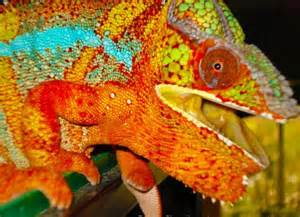 do you how chameleons change color here s the answer
