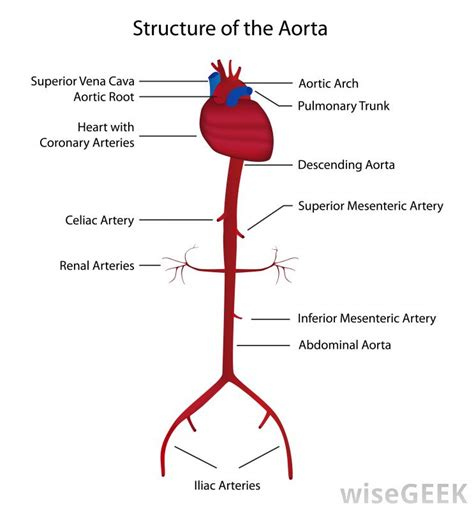 diagram of the arteries how does the circulatory system work with pictures