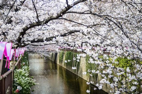 Japan Australia See The Cherry Blossoms In Japan With A Cherry Blossoms