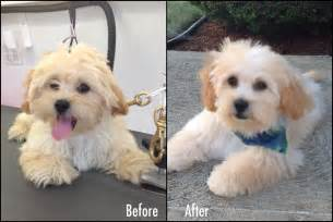 how to cut hair on a shihpoo image gallery shih poo grooming