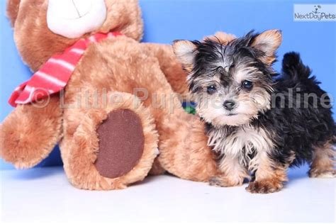 coconut for yorkies yorkiepoo yorkie poo puppy for sale near columbus ohio c69a6d0c 4081
