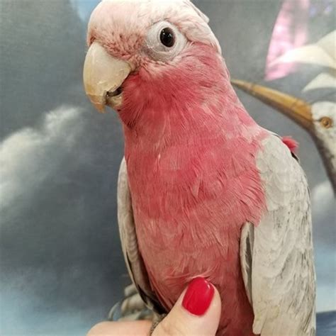 rose breasted cockatoo 130136 for sale in east stroudsburg pa