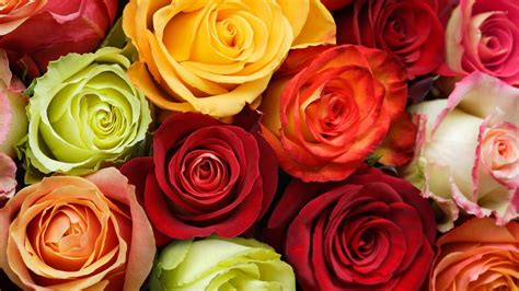 colorful rose wallpaper download colorful roses wallpaper flower wallpapers 50584