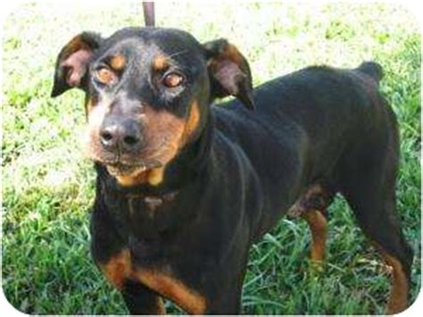 rottweiler doberman pinscher mix doberman pinscher pitbull mix related keywords doberman pinscher pitbull mix