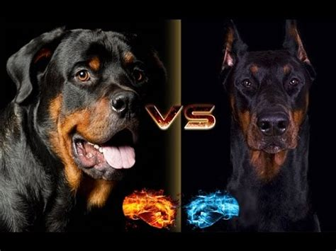 compare rottweiler and doberman rottweiler vs doberman breed
