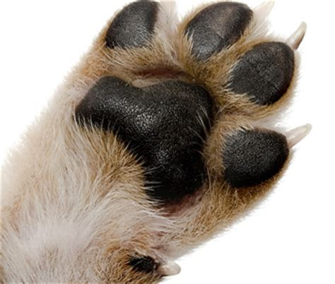 dew claws golden retriever dew claws do golden retriever rescue of southern maryland