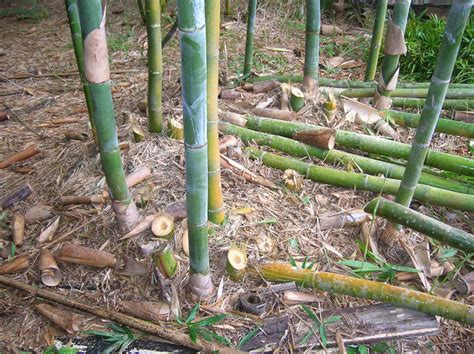 top 28 best mulch for bamboo merrymade cards crafts more bamboo talk pine tree mulch