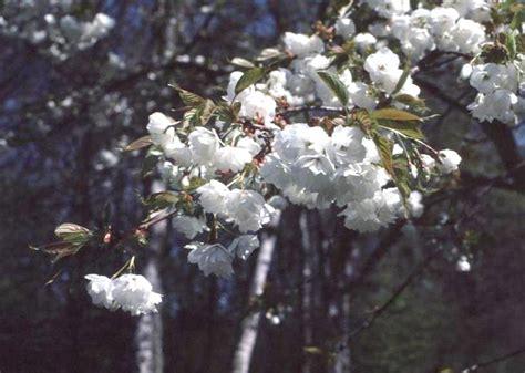 online plant guide prunus species flowering cherry