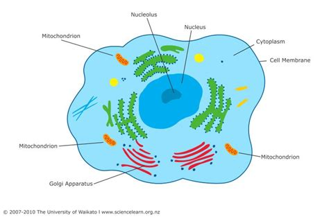 diagram of an animal cell he can t help it he s part neanderthal the catalyst