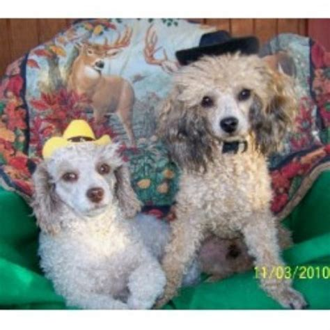 poodle rescue northwest indiana dd cockers and goldens cockapoo breeder in williamsport