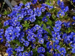 greenstead nursery diera diversifolia ground covers product range specialst growers of