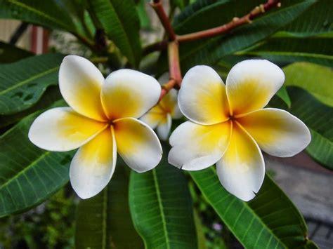 wallpaper daun bunga 117 manfaat dan khasiat bunga kamboja untuk kesehatan