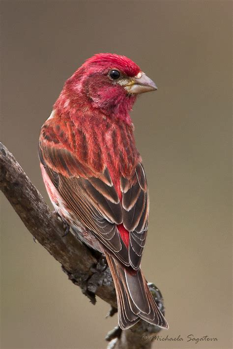 house finch purple finch quot purple finch male quot by pixlpixi redbubble