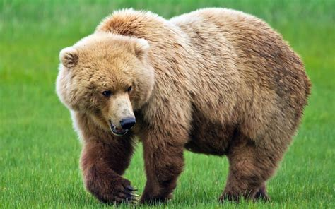 bear s bears interesting and amazing all facts animals lover