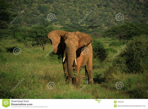 flapping ears elephant with ears flapping royalty free stock images image 1899109