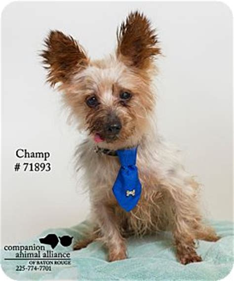 yorkie puppies for adoption in louisiana baton la yorkie terrier poodle miniature mix meet ch a
