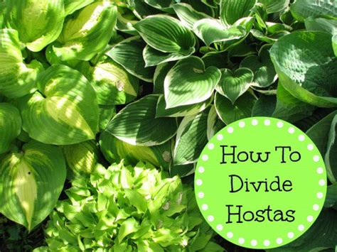 how to divide hostas dengarden