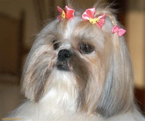 shih tzu hair products 1000 images about shih tzu on big thing puppys and hair care products