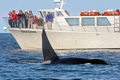 fast boat whale watching seattle whale watching wildlife tours by san juan safaris