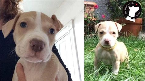 pitbull puppies chicago pit bull puppy stolen from humboldt park home found safe abc7chicago