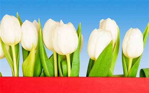 wallpaper flower big size large size tulip wallpaper 7 flower wallpapers free