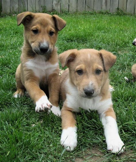 shepherd mix puppies for sale sheltie collie x shepherd puppies for sale puppies for sale dogs for sale in