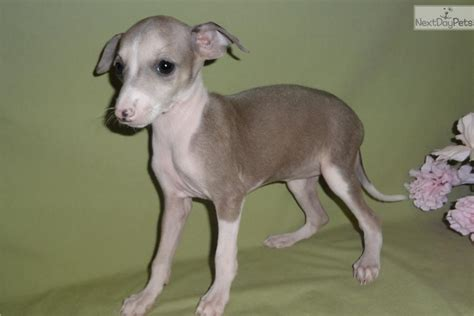 greyhound puppy for sale italian greyhound puppy dogs breeds picture
