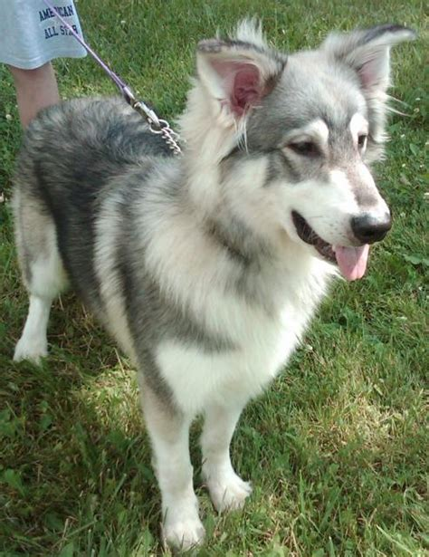 grey german shepherd puppies adoptions benedict grey white husky german shepherd neutered grey