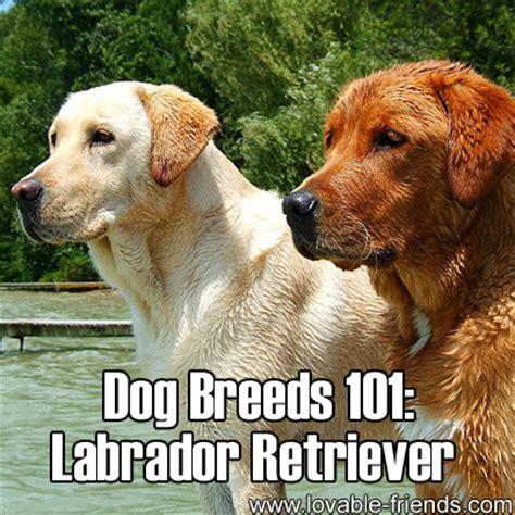 dogs 101 golden retriever animal planet 101 breeds labrador retriever dogs breeds picture