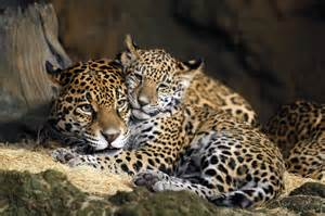 Jaguars In The Names Picked For Zoo S Baby Jaguars