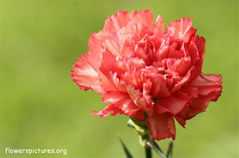 carnation flower carnation flower pictures carnation pictures