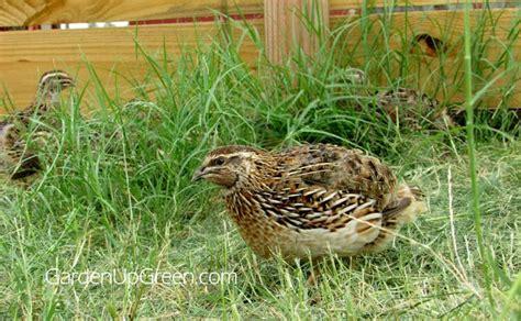 quail backyard backyard coturnix quail you can raise them on the ground