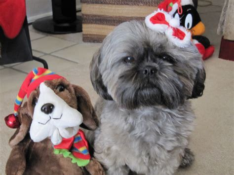 shih tzu silver shih tzu puppies for sale shih tzu breeder akc