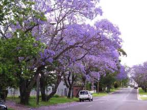tree with purple flowers jacaranda trees spain delicate fern like leaves purple flowers 187 spain info