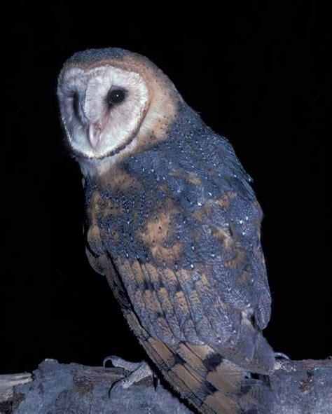 L Owl by Barn Owl Audubon Field Guide
