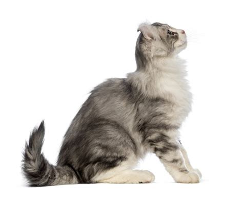cat hair american curl longhair cats breed information omlet