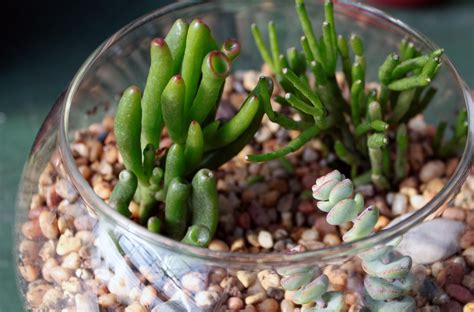 Cactus Pencil how to grow the pencil cactus or euphorbia tirucalli