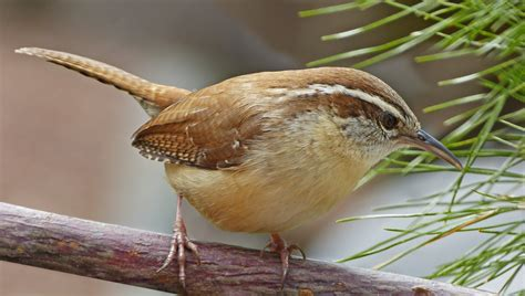 carolina wrens like mealworms feederwatch